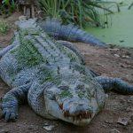 Krokodyle: gady ziemno-wodne