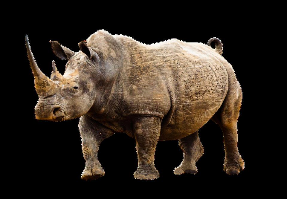 Co warto wiedzieć o nosorożcach?