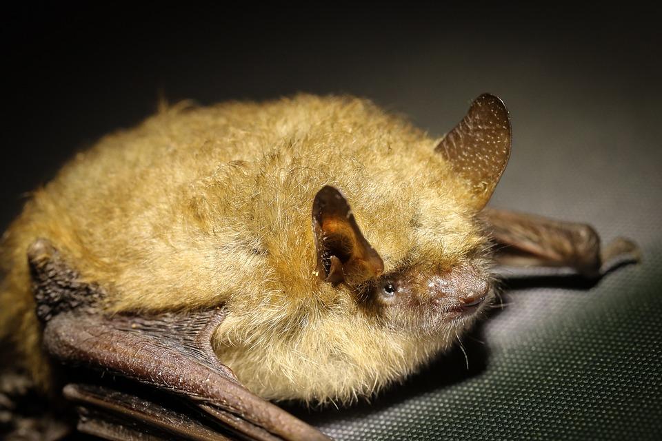 Nietoperze: ssaki, które potrafią latać