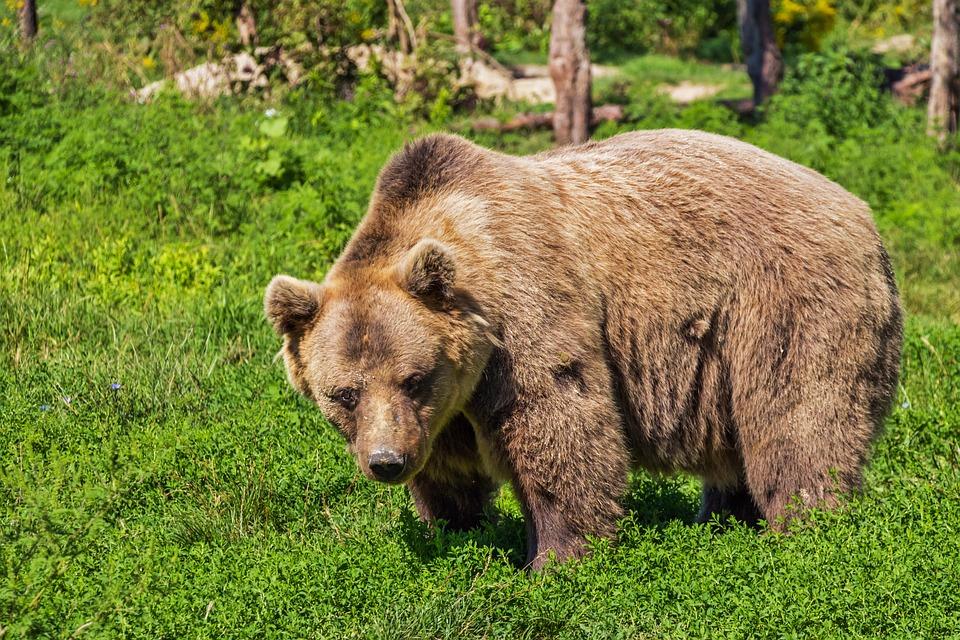 Kilka słów o niedźwiedziach