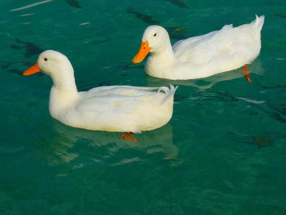 Kaczki, łabędzie, gęsi: ptaki z rzędy blaszkodziobych