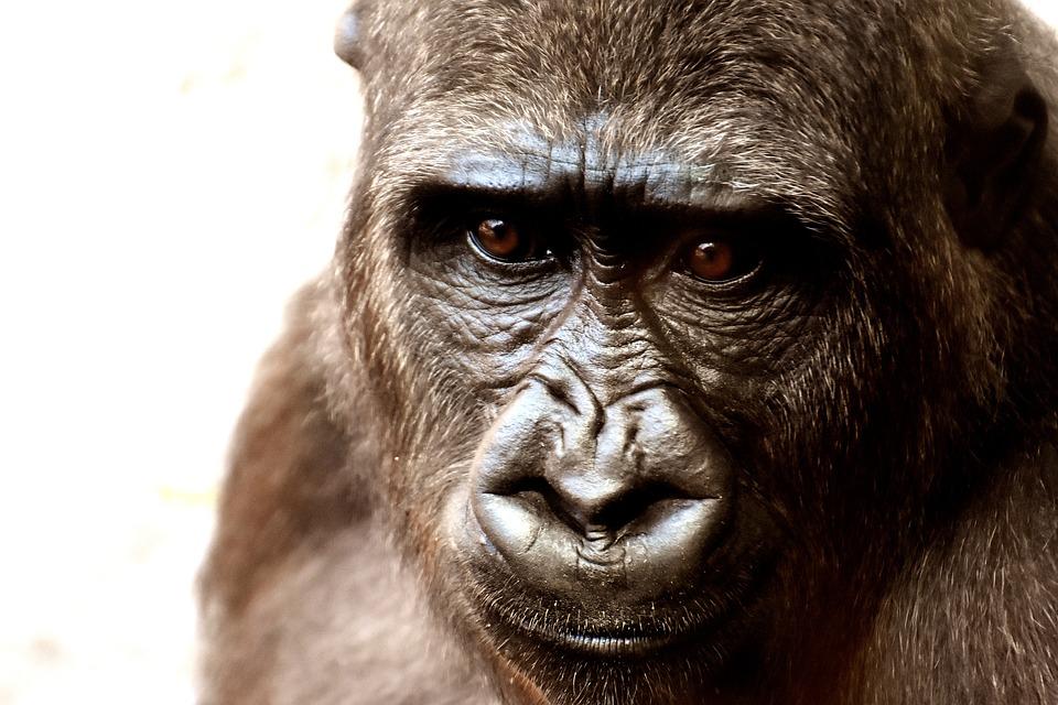 O małpach człekokształtnych