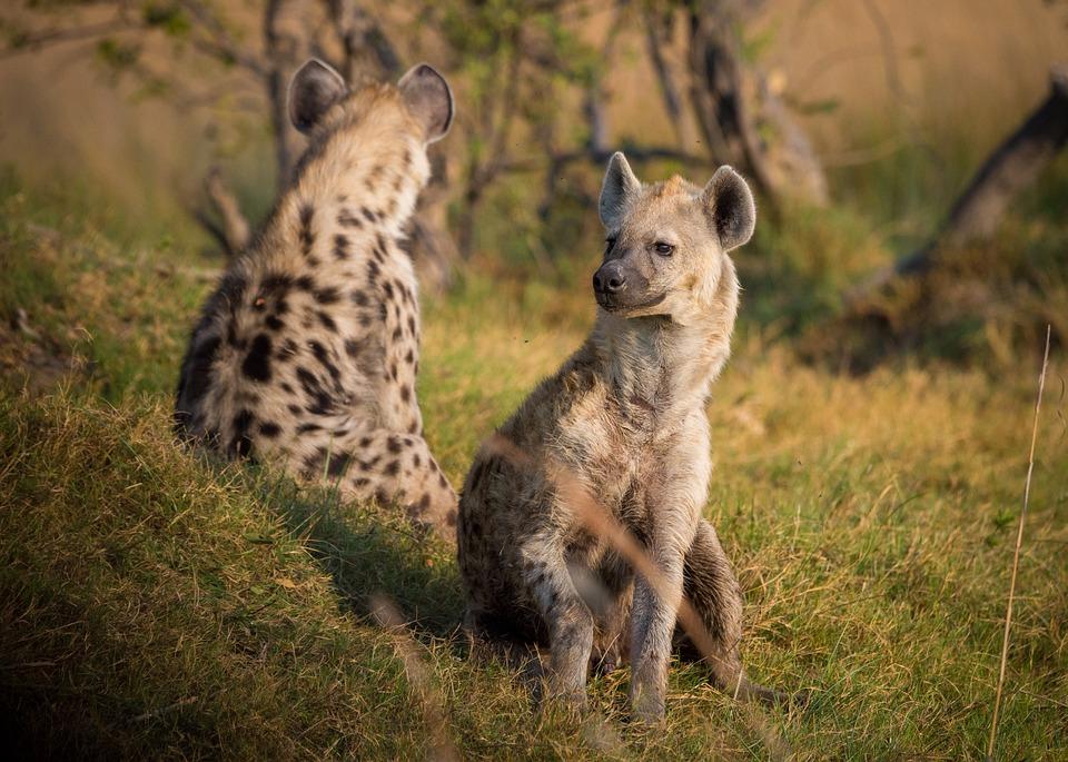 Kilka słów o hienach