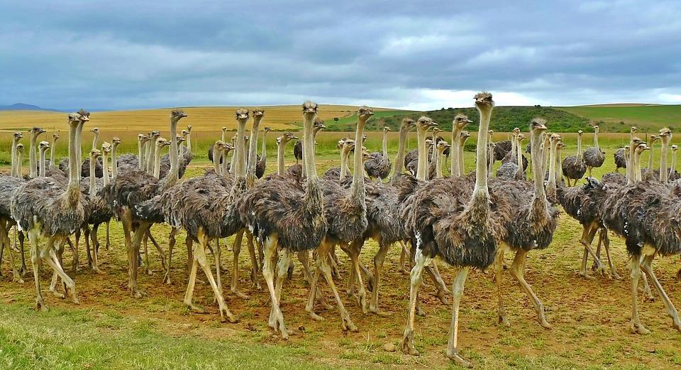 Podgromada bezgrzebieniowców i strusie australijskie