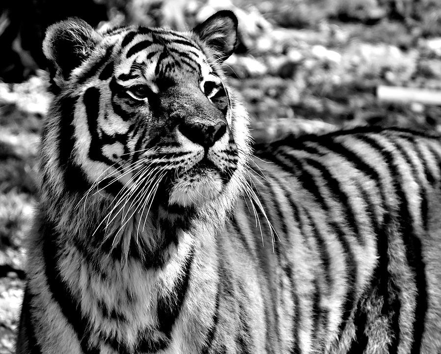 Tygrys syberyjski – wielki kot, któremu grozi wyginięcie